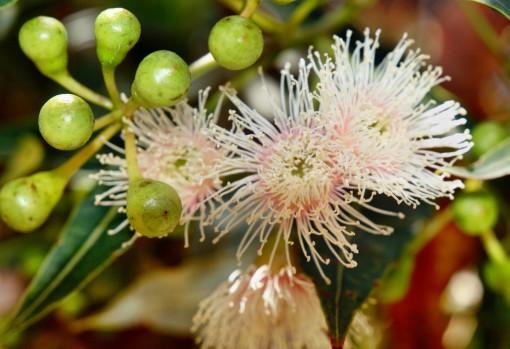 ULJE EUKALIPTUSA – terapija eteričnim uljima biljaka