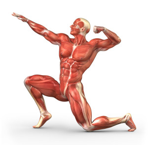 MIŠIĆNI SISTEM TELA – mišićna masa tela, tri grupe mišića